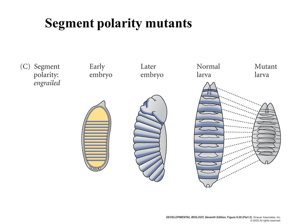 Segment polarity mutants