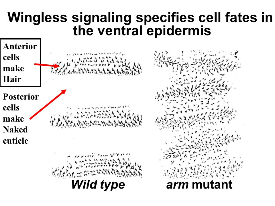Wingless signaling specifies cell fates in