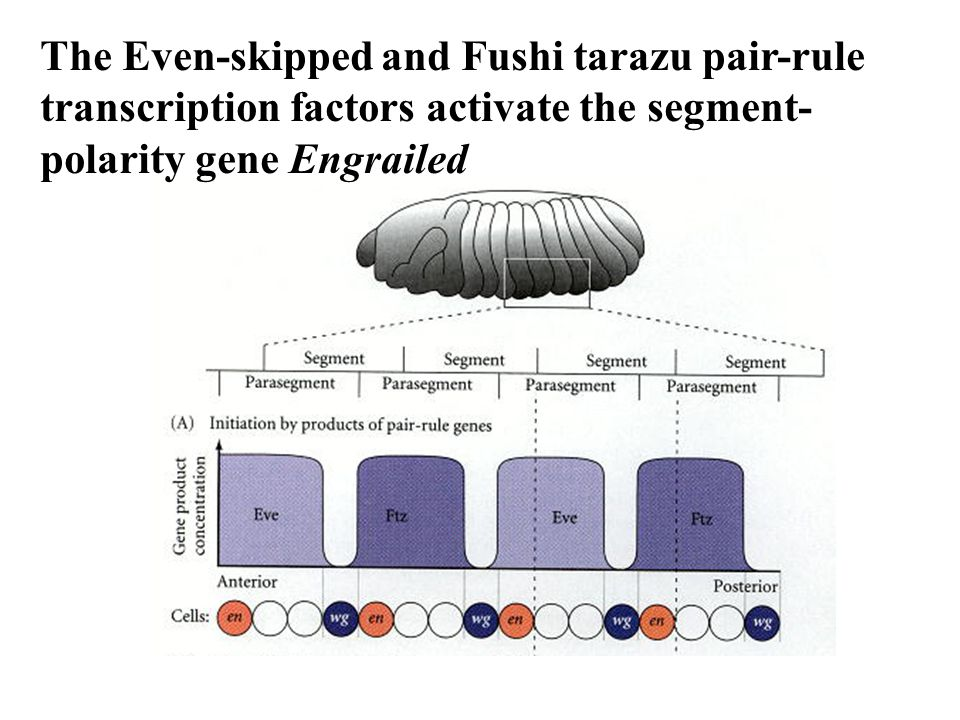 The Even-skipped and Fushi tarazu pair-rule transcription factors activate the segment-polarity gene Engrailed