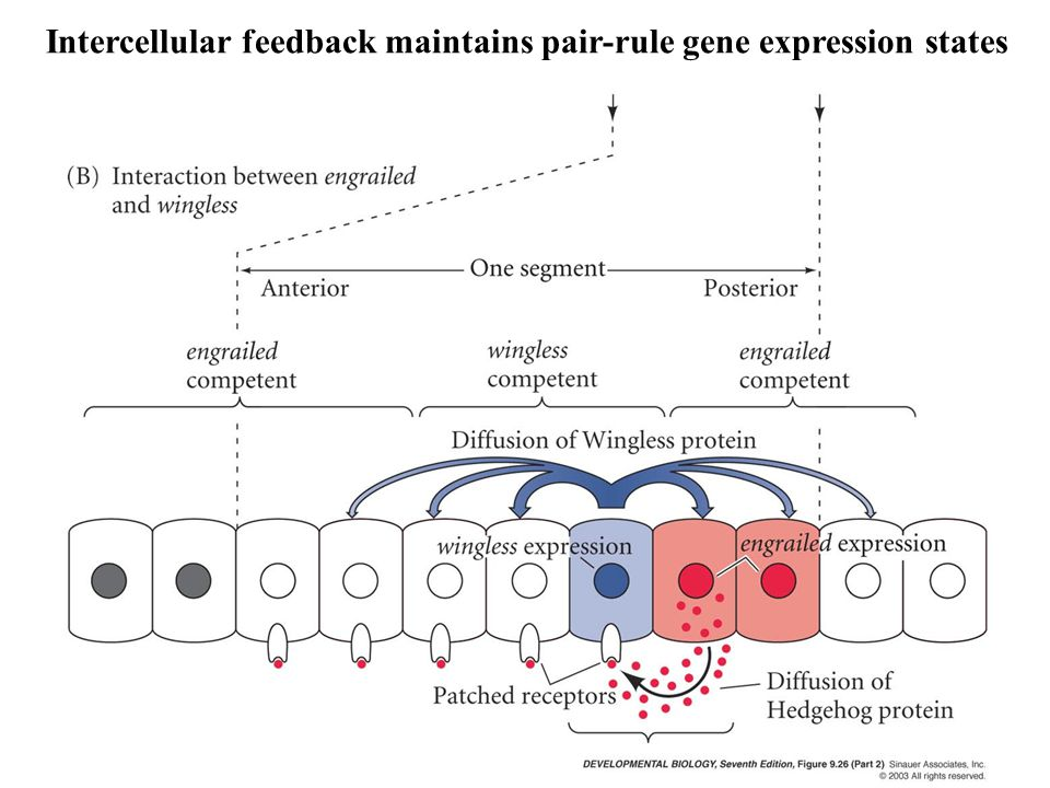 Intercellular feedback maintains pair-rule gene expression states