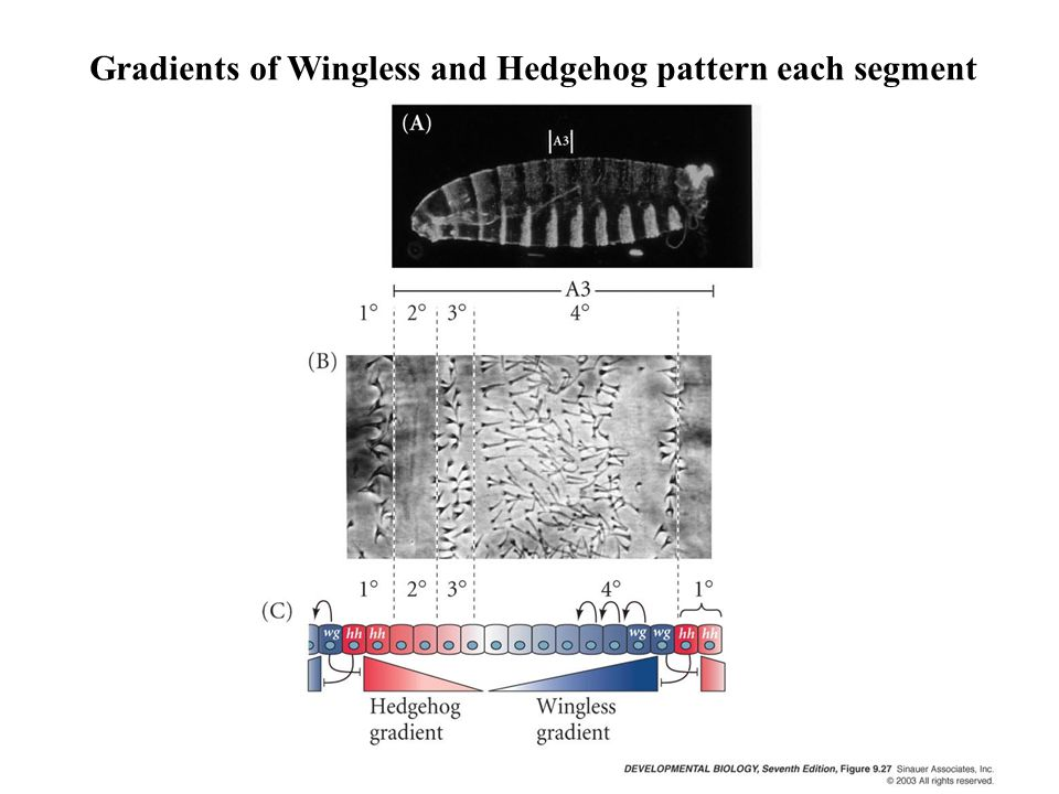 Gradients of Wingless and Hedgehog pattern each segment