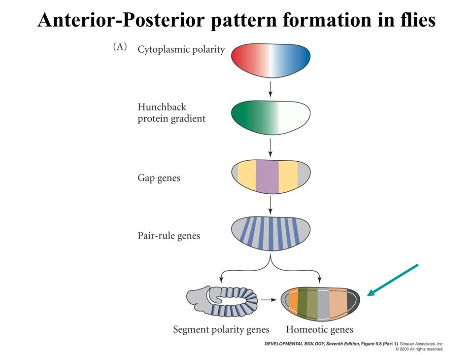 Anterior-Posterior pattern formation in flies