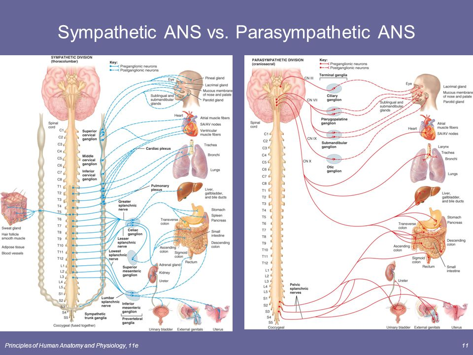 parasympathetic vs sympathetic This nclex review will discuss the sympathetic and parasympathetic nervous  system along with pharmacology as a nursing student, you must be familiar with .