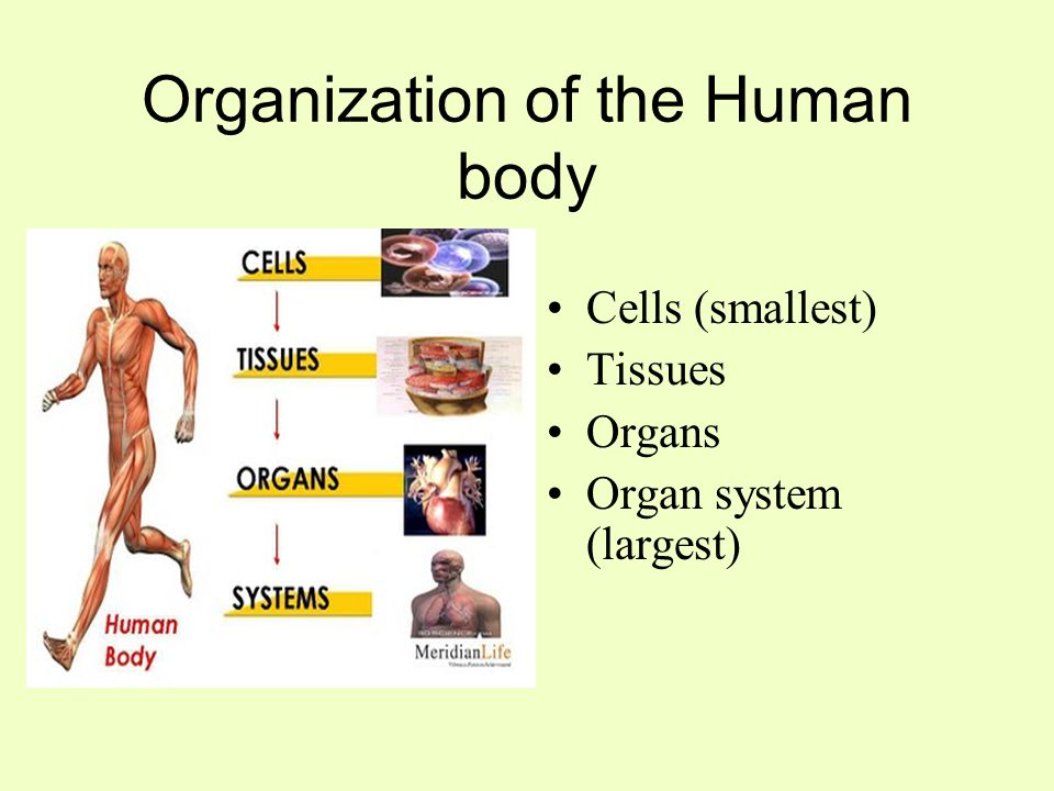 """organisation of the human body The human body: organization and systems to quote the psalmist, we are """"fearfully and wonderfully made"""" (psalm 139:14) truly the design of the human body is one of the greatest marvels of his works."""
