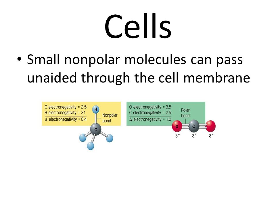 Cells Small nonpolar molecules can pass unaided through the cell membrane