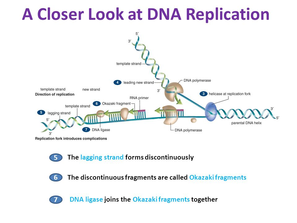 Molecular biology of the gene ppt video online download a closer look at dna replication pronofoot35fo Choice Image