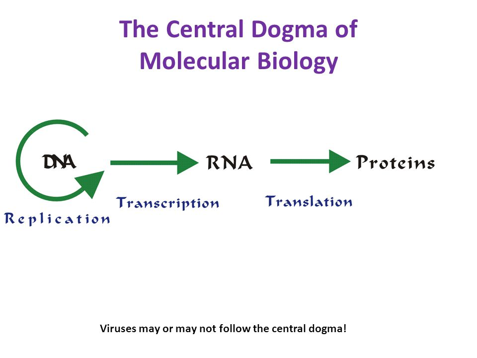 central dogma Transcription translation dna •bases a,t,c,g •double-helical •information storage for cell rna •bases a,u,c,g •varying shapes •(usually) transfers info.