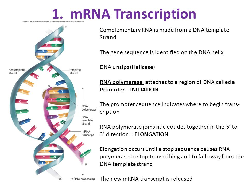 how to write mrna sequence from dna