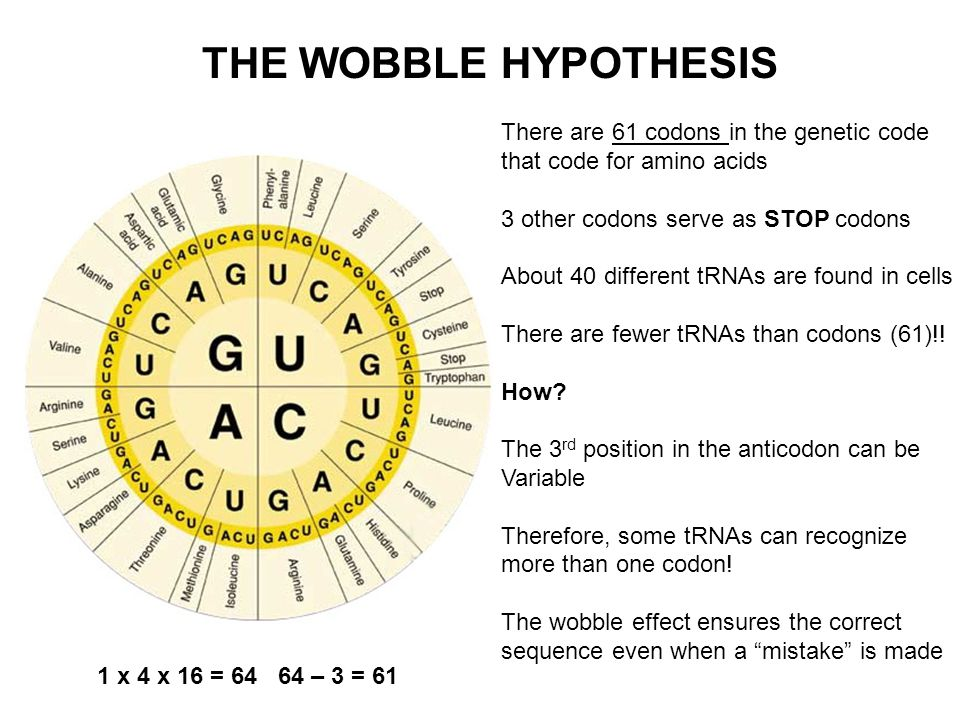 wobble hypothesis Wobble hypothesis quick reference a theory to explain the partial degeneracy of the genetic code due to the fact that some t-rna molecules can.