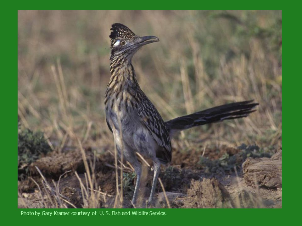 Bird identification akrum hamdy ppt video online download for Us fish and wildlife