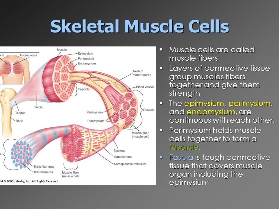 "The Muscular System ""myo = muscle"". - ppt video online download"