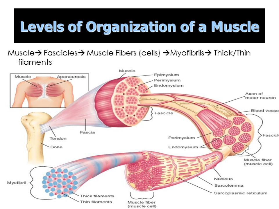 organization of muscle tissue Muscle: muscle, contractile tissue found in animals, the function of which is to produce motion movement, the intricate cooperation of muscle and nerve fibres, is the means by which an organism interacts with its environment the innervation of muscle cells, or fibres, permits an animal to carry out the.