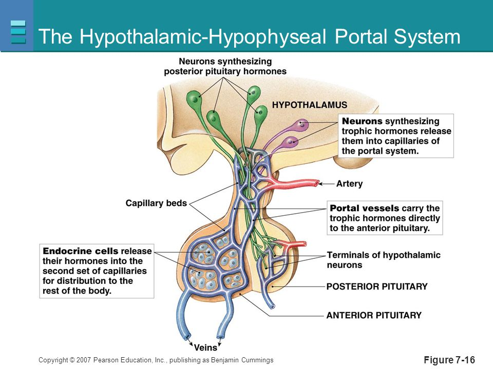 Endocrine System 5513686 likewise Pneal Gland How To Feed It besides 276 also Oxytocin moreover Endocrinology What Is The Endocrine System. on endocrine system pituitary gland