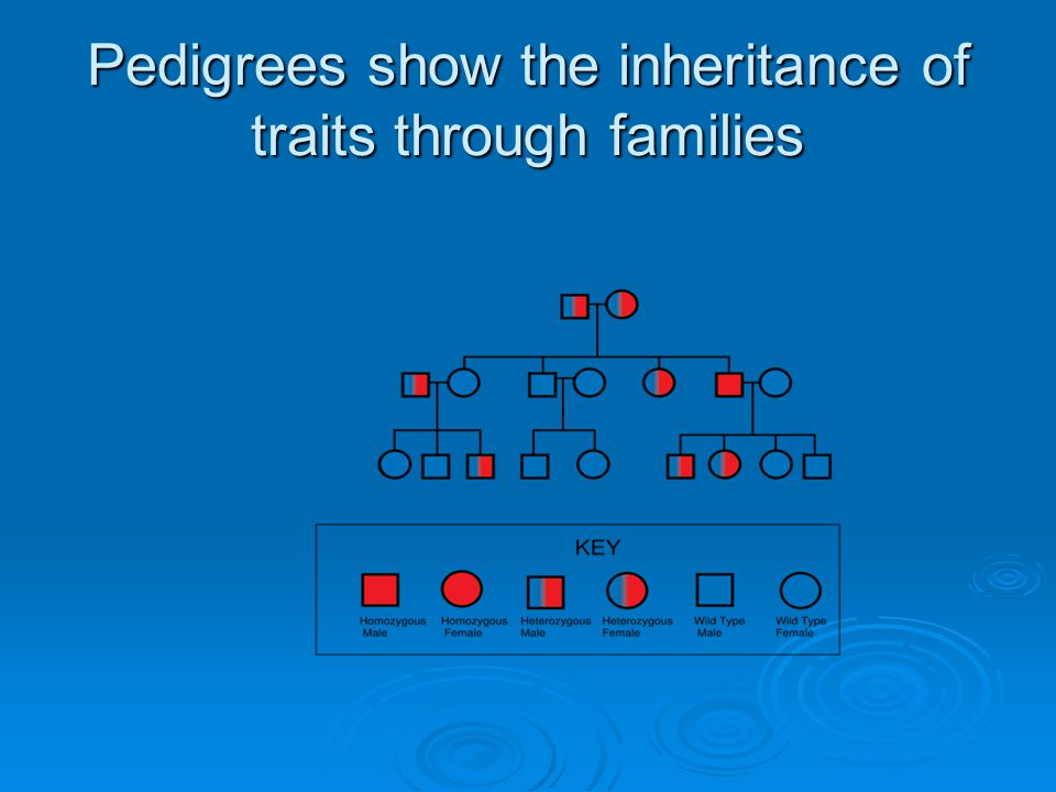 Pedigrees show the inheritance of traits through families