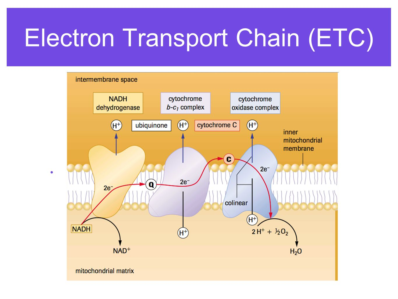 electron transport chain This animation of the electron transport chain (etc) is designed to show the major events for the sake of clarity the protein complexes in the membranes are shown as blobs and, compounds turn blue when they are reduced and red when oxidized.