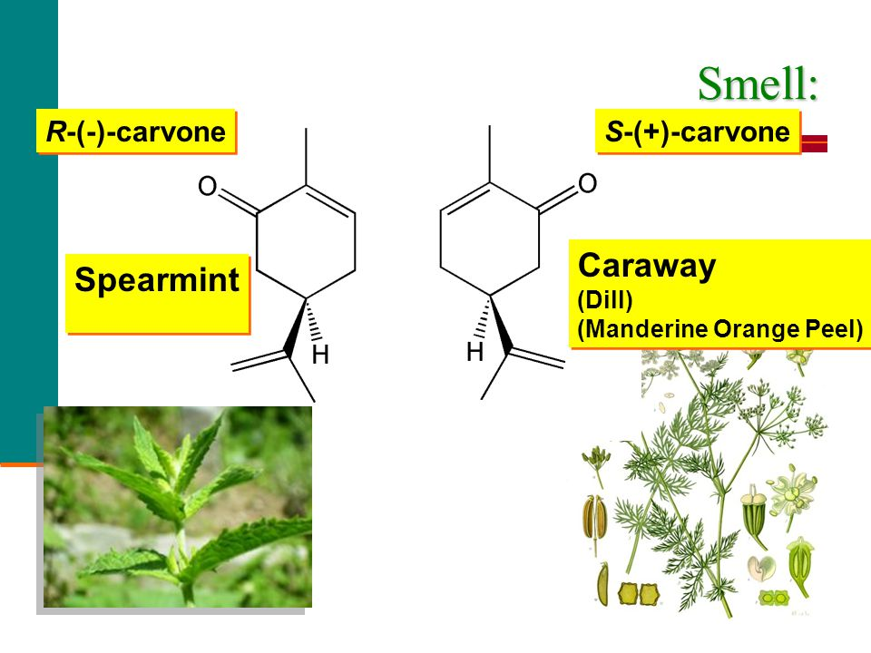 spearmint and caraway oils and Spearmint (large 4 ounce) best essential oil  root calming camphor cananga caraway carrot  spearmint essential oil.