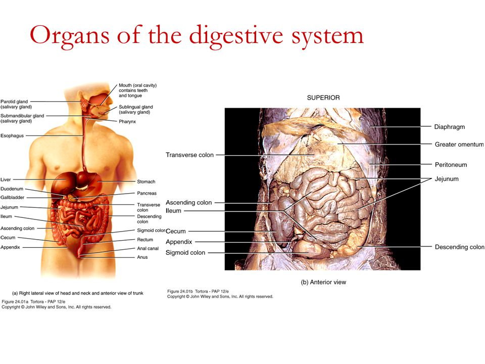 Exercise 38 The Digestive System Ppt Video Online Download