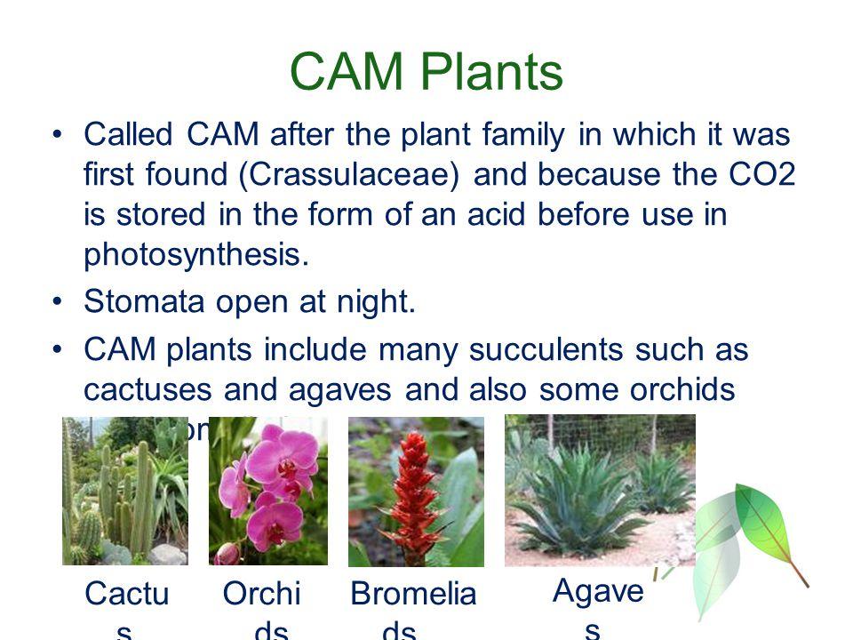 photosynthesis c3 c4 and cam plants Review temperature response of photosynthesis in c 3,c 4, and cam plants: temperature acclimation and temperature adaptation wataru yamori • kouki hikosaka • danielle a way.