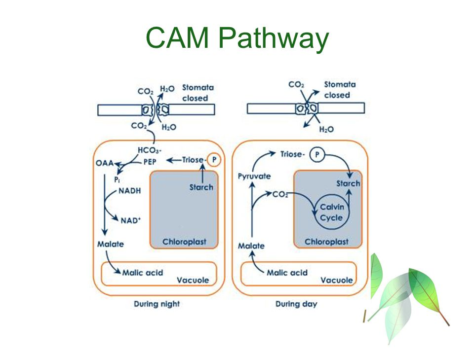 using c4 photosynthesis to increase the A brief overview of c4 photosynthesis the fundamentals of c4 photosynthesis are shown in a simplified form in the figure below as you will recall, .