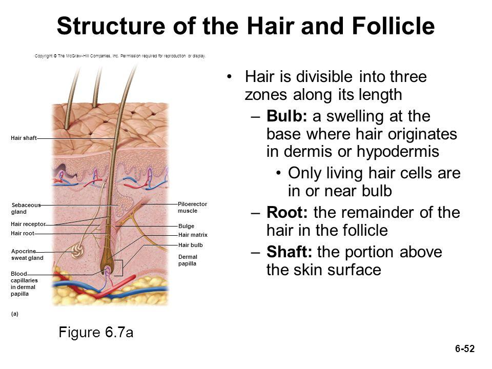 Anatomy Of Hair Strand