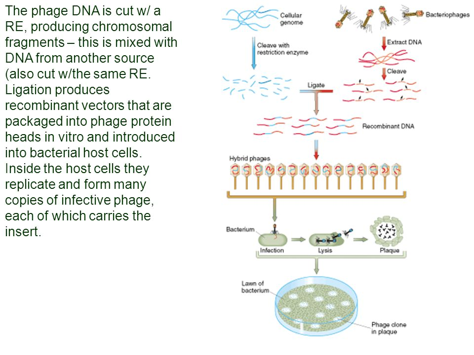 The phage DNA is cut w/ a RE, producing chromosomal fragments – this is mixed with DNA from another source (also cut w/the same RE. Ligation produces recombinant vectors that are packaged into phage protein heads in vitro and introduced into bacterial host cells.