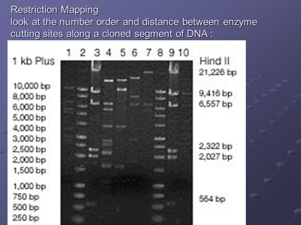 Restriction Mapping look at the number order and distance between enzyme cutting sites along a cloned segment of DNA :