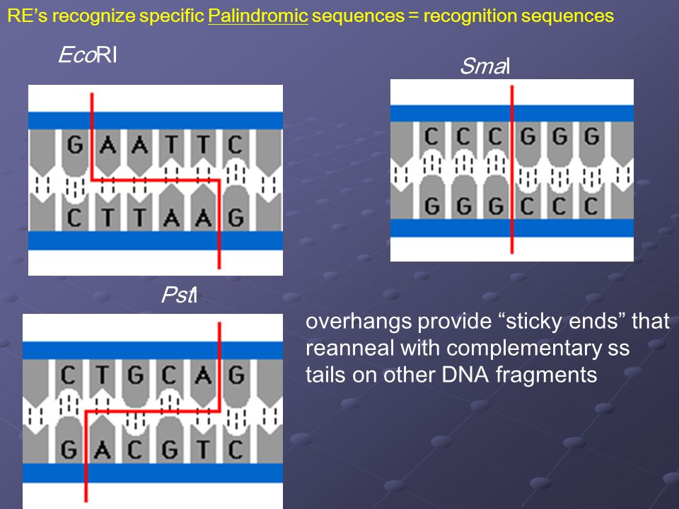 RE's recognize specific Palindromic sequences = recognition sequences