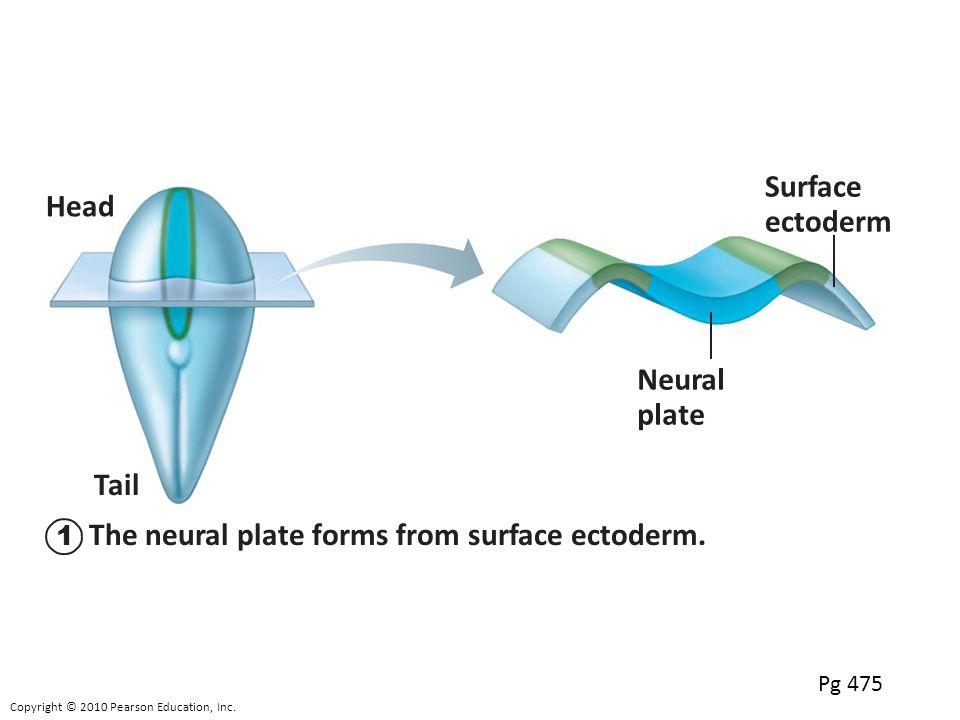 Neural plate