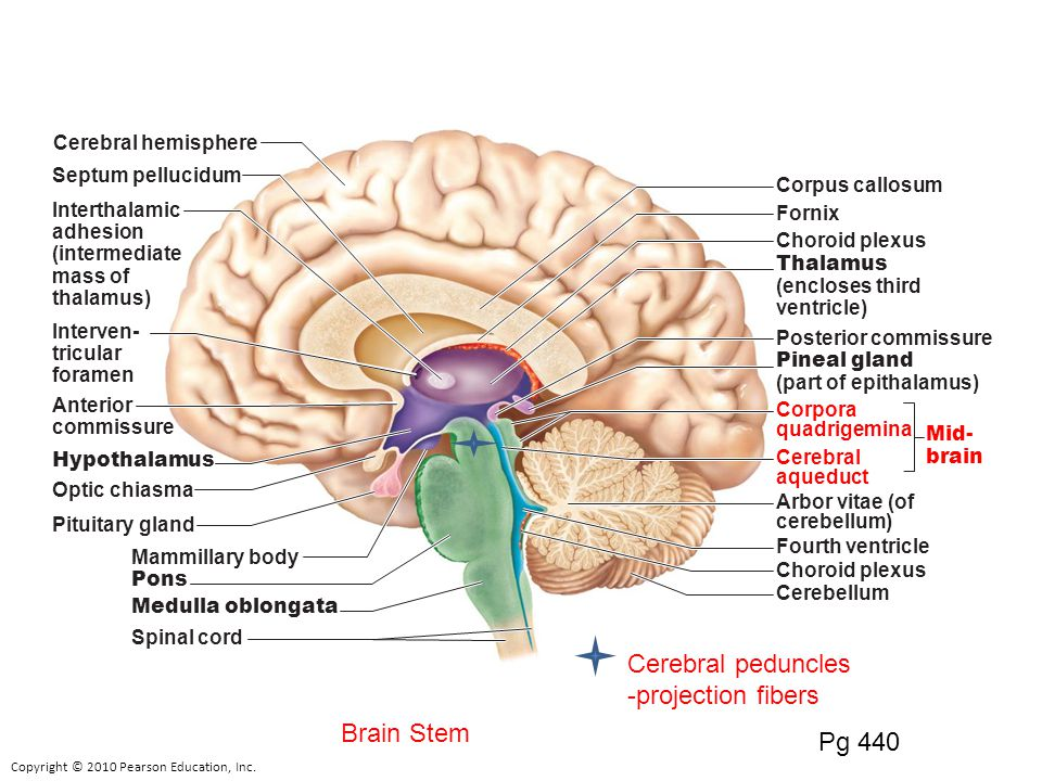 relationship between diencephalon and brain stem