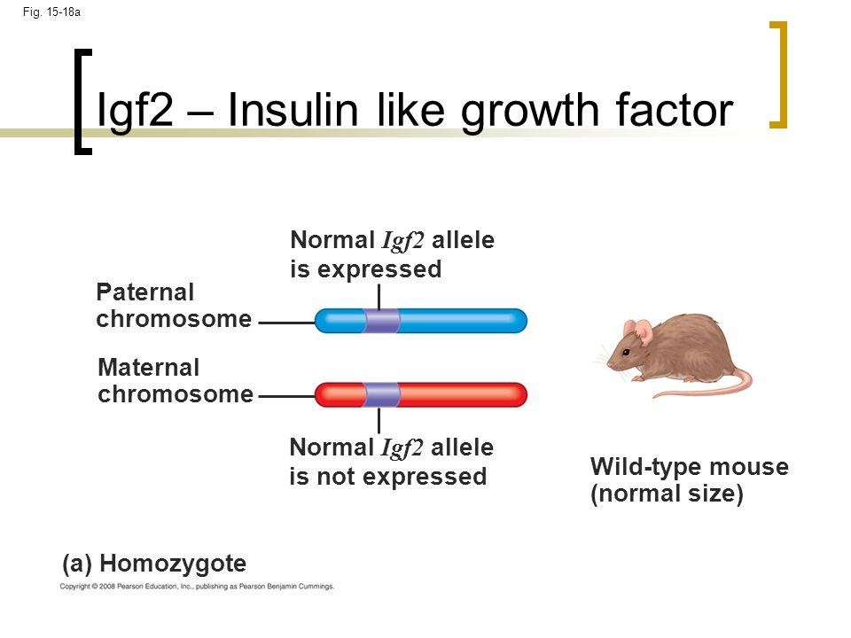 Igf2 – Insulin like growth factor