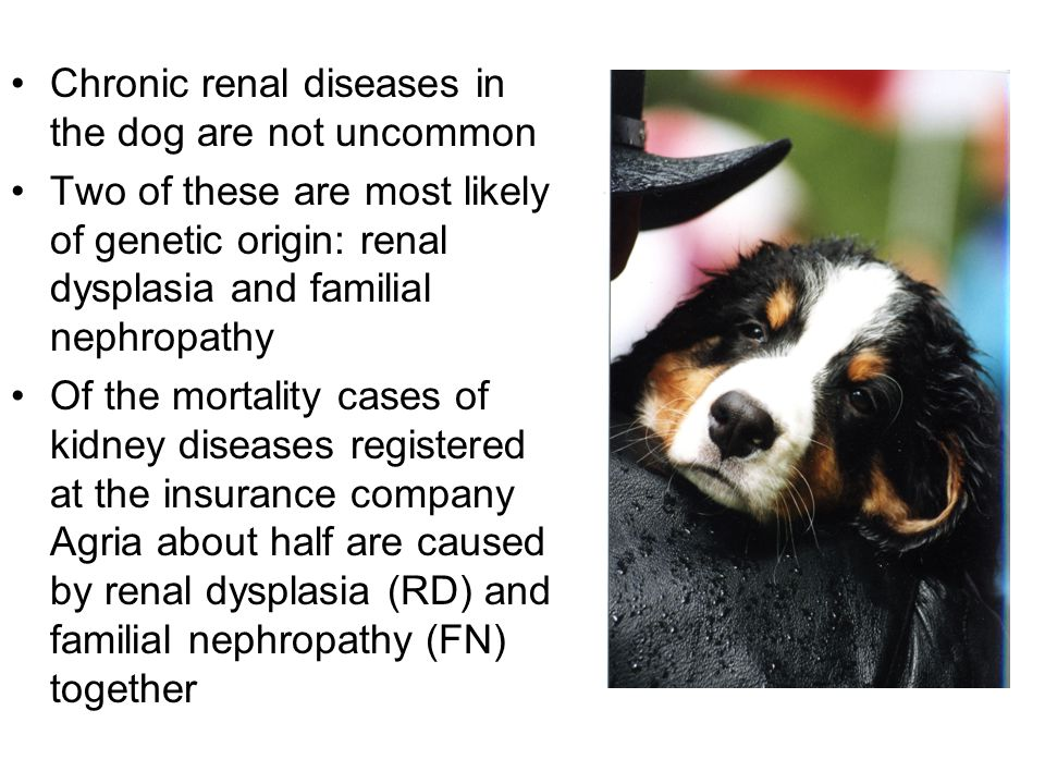 Chronic renal diseases in the dog are not uncommon