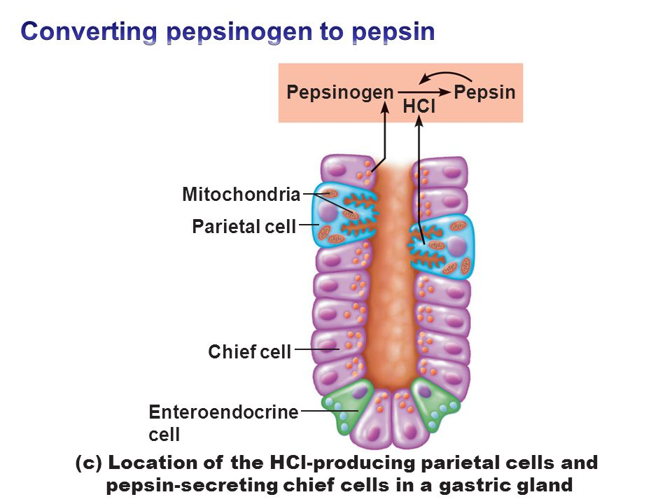 pepsin duct cell diagram digestive system. - ppt video online download