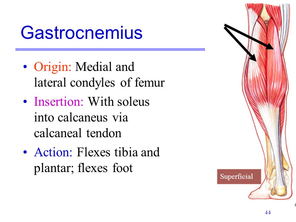 Gastrocnemius Muscle Origin And Insertion Muscles Martini Chapte...