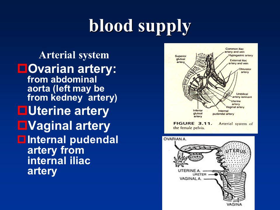 Ovarian artery anatomy