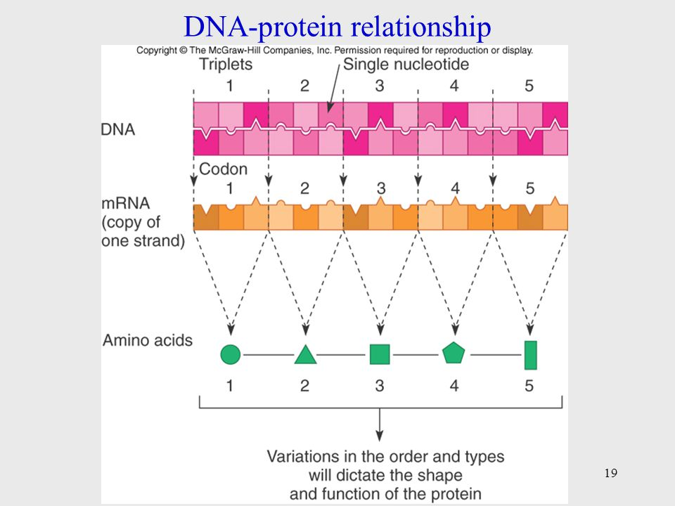 describe the relationship between dna molecules and protein