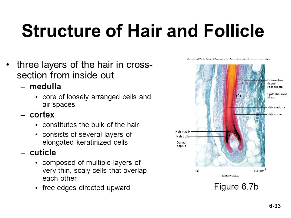 hair and diagonal epithelial tube A hair is a slender fiber that grows from a hair follicle, which is an oblique tube  the follicle is a diagonal tube that  it surrounds the epithelial sheath.