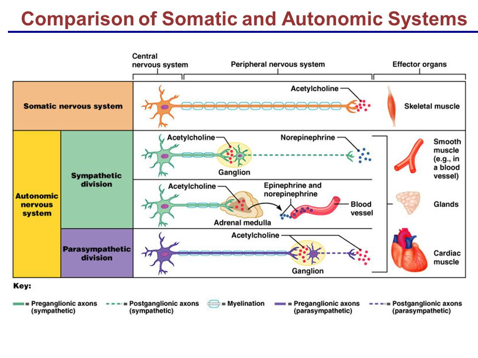 Comparison of Somatic and Autonomic Systems - ppt download | 960 x 720 jpeg 95kB