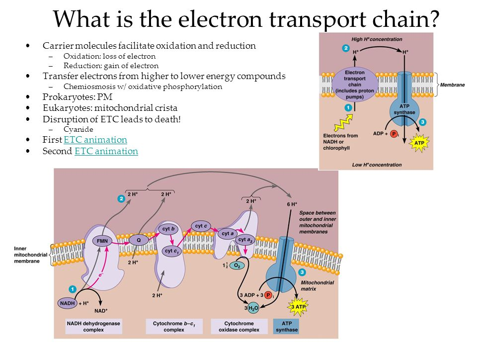 understanding how the electron transport works To understand this post, it's useful to know the mitochondrial structure  pyruvate  from glycolysis does not enter directly into the citric acid cycle.