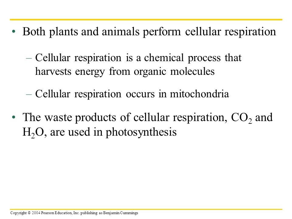 Both plants and animals perform cellular respiration