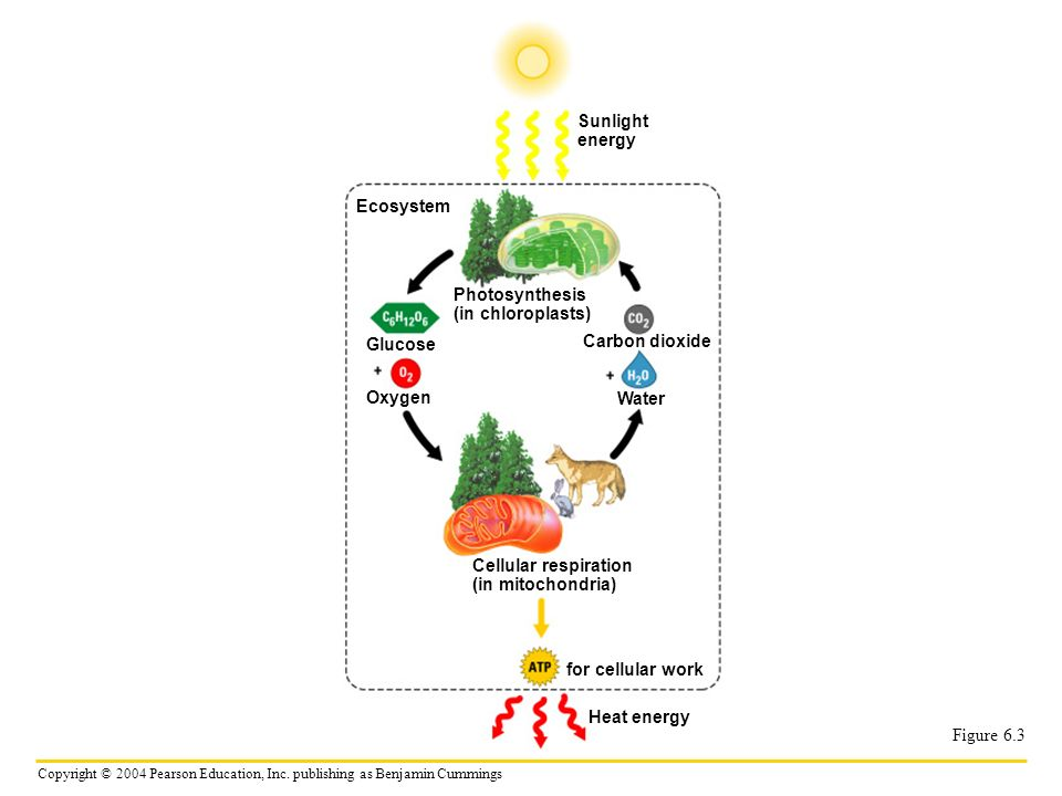 Sunlight energy. Ecosystem. Photosynthesis. (in chloroplasts) Glucose. Carbon dioxide. Oxygen.