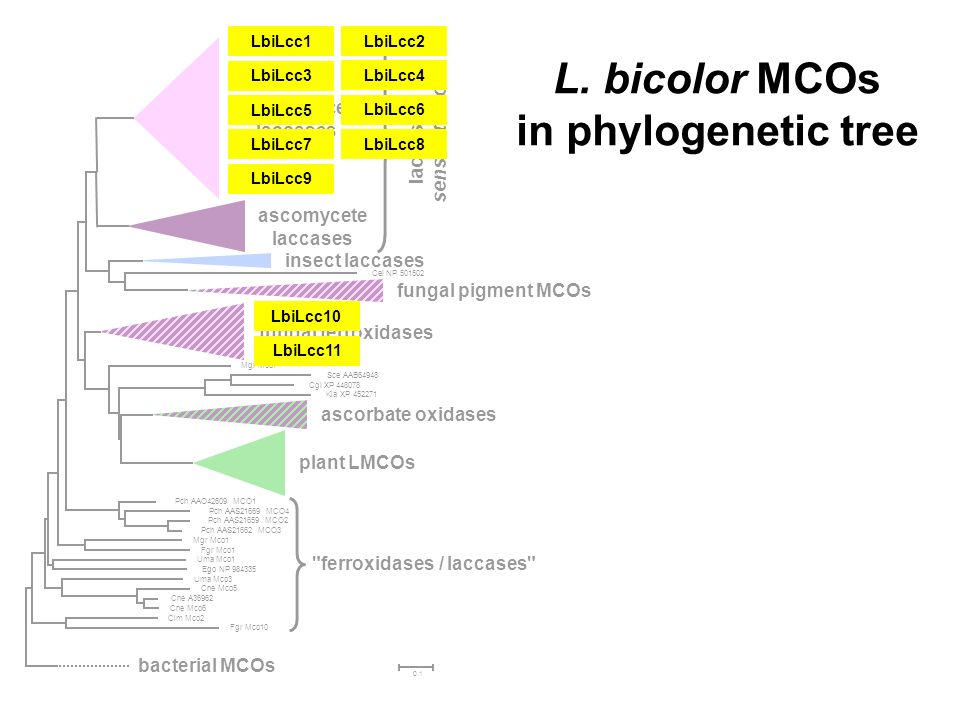 L. bicolor MCOs in phylogenetic tree
