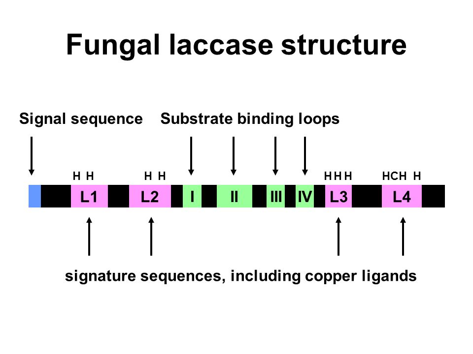 Fungal laccase structure