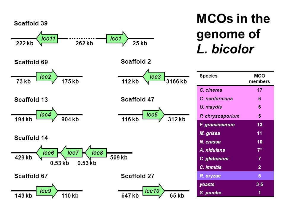 MCOs in the genome of L. bicolor