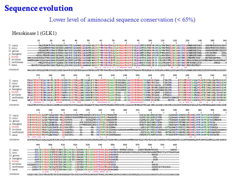Sequence evolution Lower level of aminoacid sequence conservation (< 65%) Hexokinase 1 (GLK1) N. crassa.