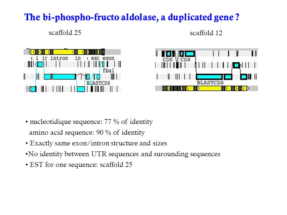 The bi-phospho-fructo aldolase, a duplicated gene