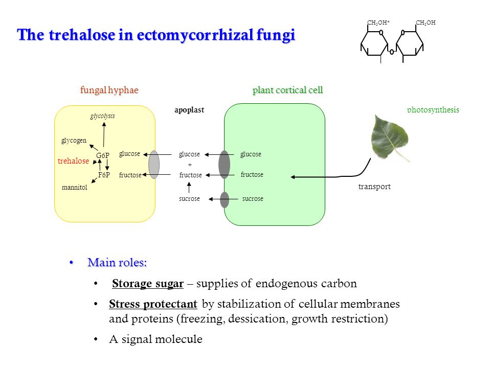 The trehalose in ectomycorrhizal fungi