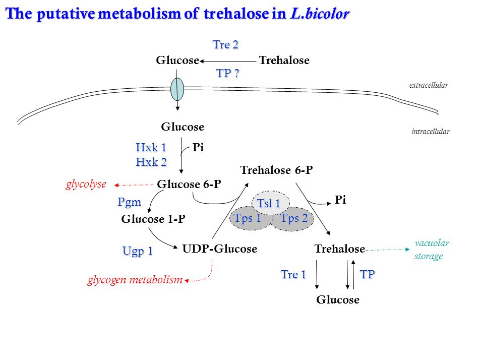 The putative metabolism of trehalose in L.bicolor