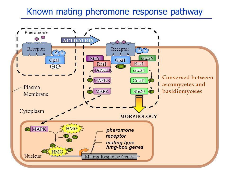 Known mating pheromone response pathway