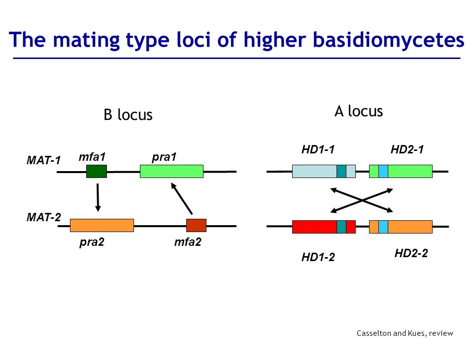 The mating type loci of higher basidiomycetes