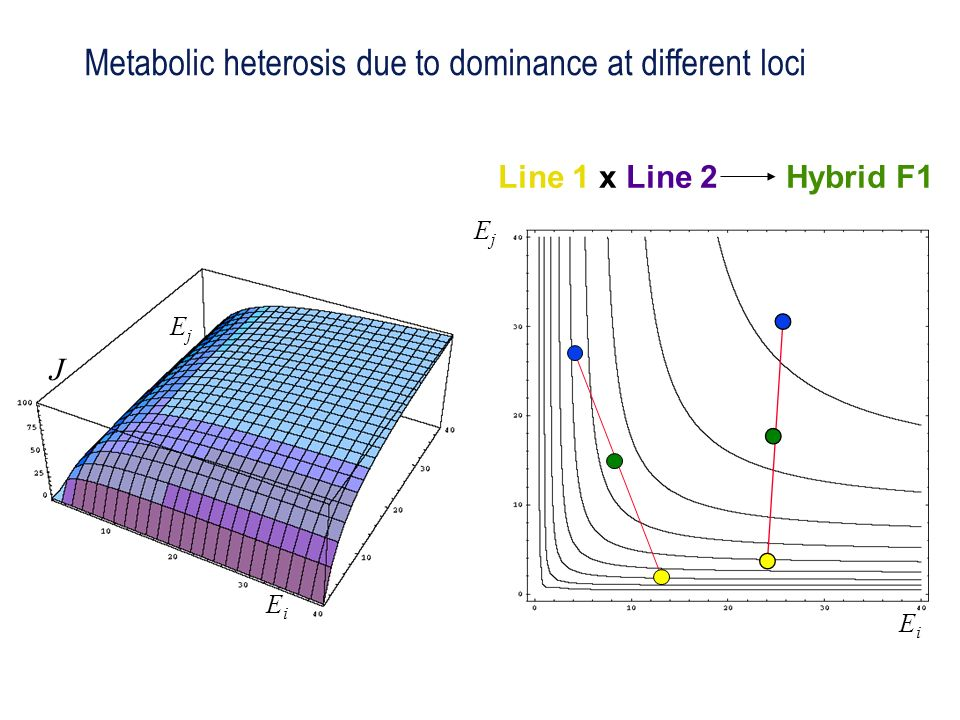 Metabolic heterosis due to dominance at different loci